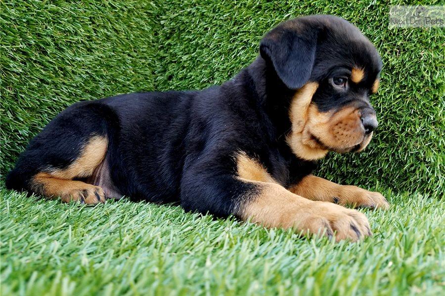 Rottweiler Puppy For Sale Near San Diego California D46c9907 D0c1
