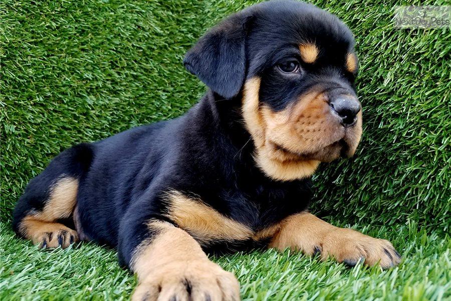 Rottweiler Puppy For Sale Near San Diego California 89446674 5381