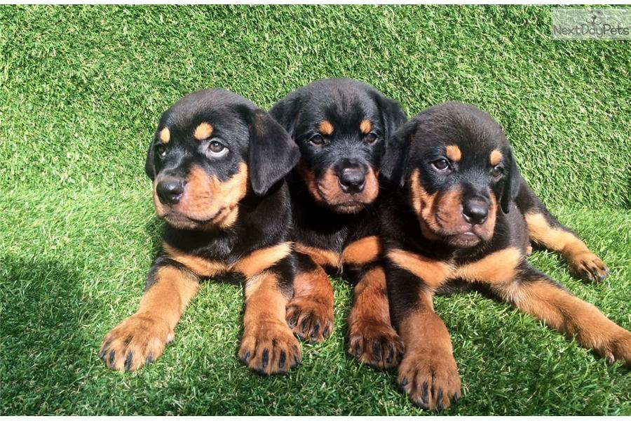 Rottweiler Puppy For Sale Near San Diego California 7faa905c B881