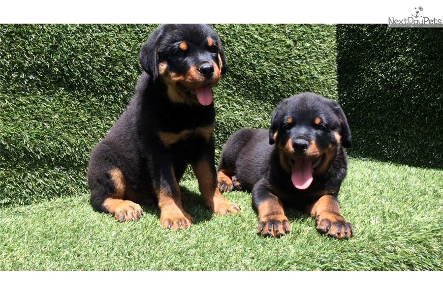Rottweiler Puppy For Sale Near San Diego California 8410b587 F6a1