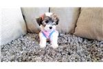 Picture of Female Malshi Puppy