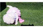 Picture of Female Maltipoo Puppy