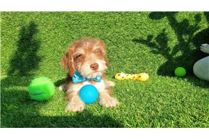 Picture of Maltipoo Puppy