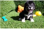 Picture of Black and white Male Maltipoo Puppy
