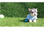 Picture of Male Morkie Puppy