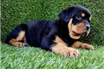 Picture of Male Rottweiler Puppies