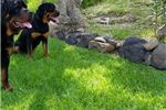 Picture of Adult Female Rottweiler