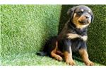 Picture of Male Rottweiler Puppy