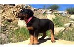 Picture of Female Rottweiler Puppy