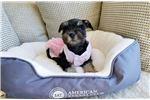 Picture of Black and Silver Female Mini Schnauzer Puppy