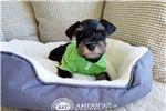Picture of Black and Silver Male Mini Schnauzer Puppy