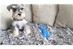 Picture of Male Mini Schnauzer Puppy