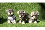 Picture of Mini Schnauzer Puppies