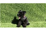 Picture of Male Black Mini Schnauzer Puppy