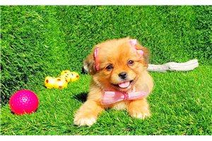 Picture of Shih Tzu Puppy
