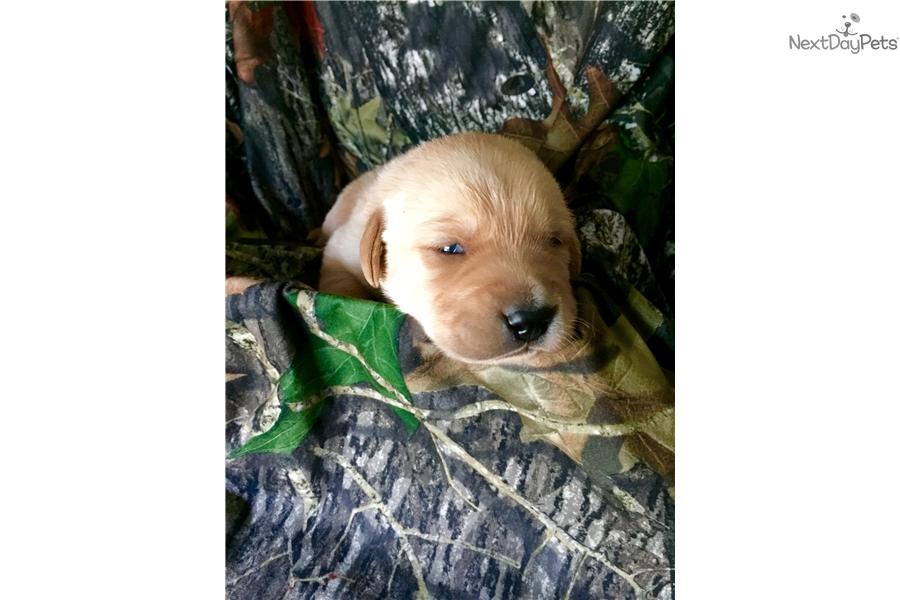 Goldador puppy for sale near Tyler / East TX, Texas