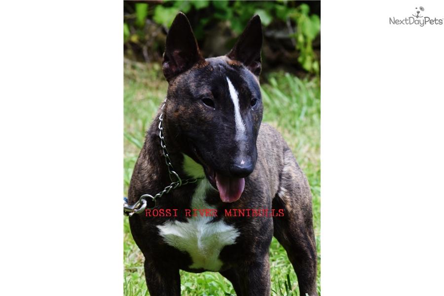 Female 1 Miniature Bull Terrier Puppy For Sale Near Greensboro