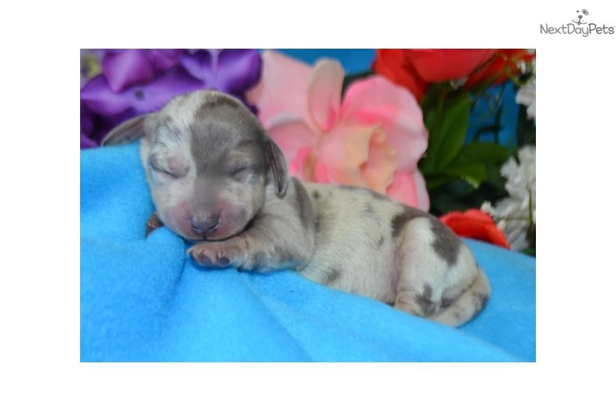 Maddy Dachshund Mini Puppy For Sale Near Boulder Colorado