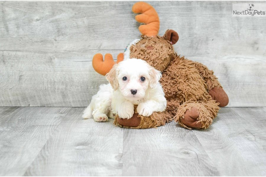 Christie Cavachon Puppy For Sale Near Dallas Fort Worth