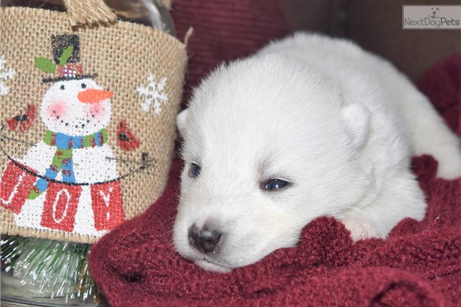 Chloe Pomsky Puppy For Sale Near Minneapolis St Paul Minnesota