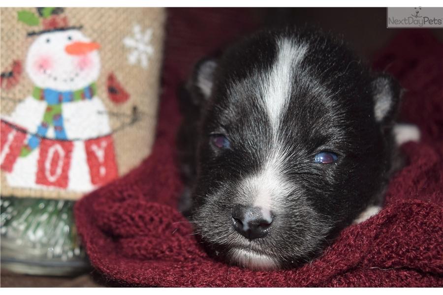 Max Pomsky Puppy For Sale Near Minneapolis St Paul Minnesota