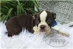 Picture of Duke-Male-Boston Terrier-WWW.MYLITTLEPUPPY.COM