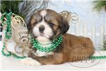 Picture of Ginger-Female-Lhasa Apso-WWW.MYLITTLEPUPPY.COM