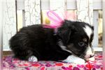 Picture of Zoey-Female-WWW.MYLITTLEPUPPY.COM