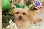 Picture of Armand-Male-Peekapoo-WWW.MYLITTLEPUPPY.COM