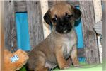 Picture of Prissy-Female-Puggle-WWW.MYITTLEPUPPY.COM