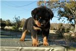 Picture of Thor-Male-Rottweiler-WWW.MYLITTLEPUPPY.COM