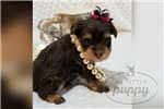 Picture of Jasmine-Female-Snorkie-WWW,MYLITTLEPUPPY.COM