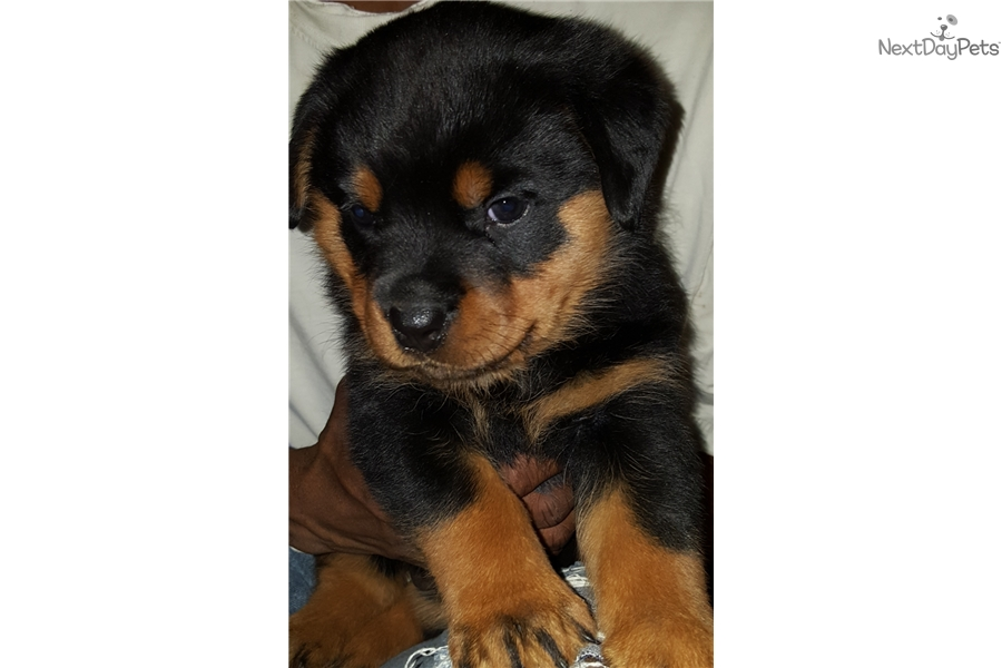Sassy Mahogany Rottweiler Puppy For Sale Near Southern Maryland