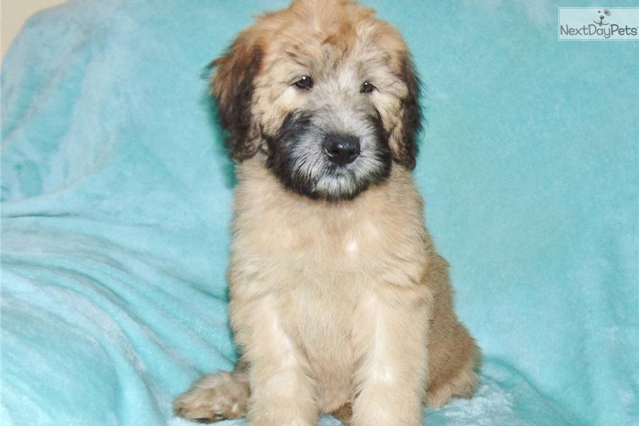 Benson: Soft Coated Wheaten Terrier puppy for sale near Los