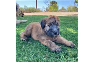 Picture of Full AKC Girl