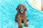 Picture of Dark Red Colored Standard Whoodle Puppy!
