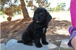 Picture of Mini Whoodle Male Puppy - Will be 20 lbs