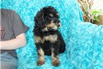 Picture of Rare Phantom Colored Standard Whoodle Pup!