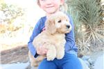 Picture of Rare Apricot Mini Whoodle Male - Will be 20-25 lbs