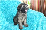 Picture of They Don't Come Much Cuter Than This Whodle Pup!