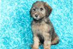 Picture of  Gorgeous Wheaten Colored Standard Whoodle Pup!