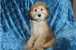 Picture of a Whoodle Puppy