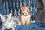 Soft Coated Wheaten Terrier for sale