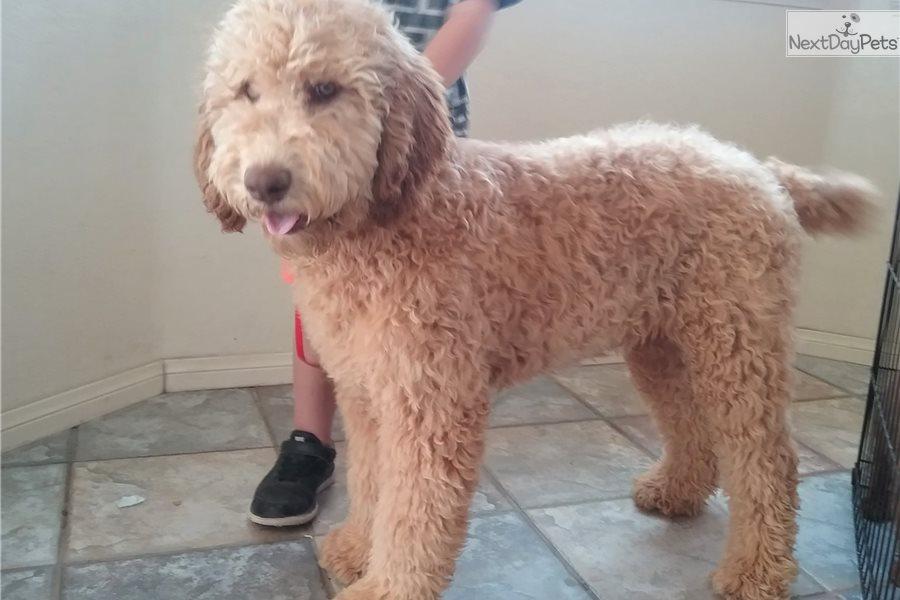Amigo: Whoodle puppy for sale near Los Angeles, California