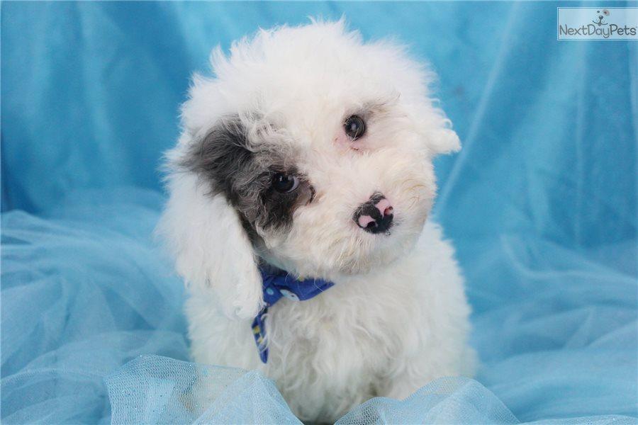 Bich-Poo - Bichpoo puppy for sale near Greensboro, North