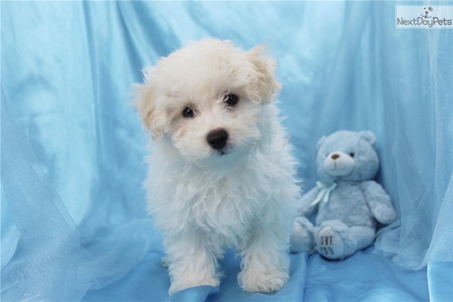 Ralph: Bich-Poo - Bichpoo puppy for sale near Greensboro