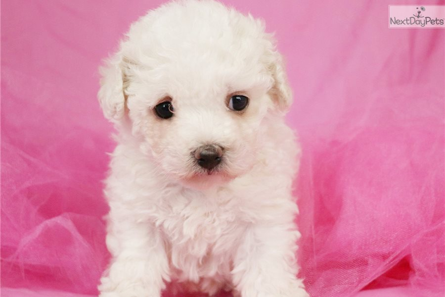 Bichon Frise puppy for sale near Greensboro, North Carolina