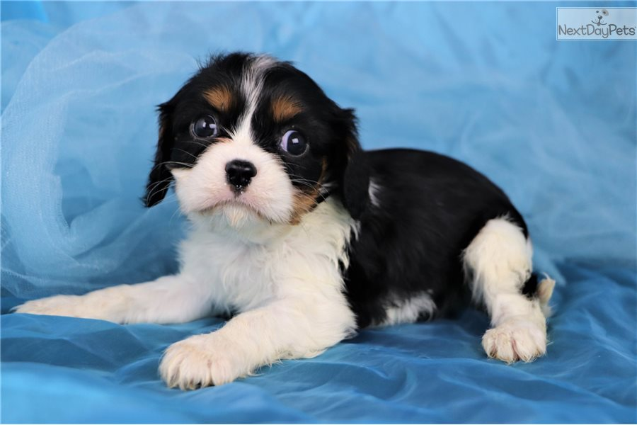 Cavalier King Charles Spaniel Puppy For Sale Near Greensboro North