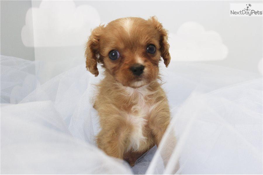 Cavapoo Puppy For Sale Near Greensboro North Carolina 2774d63b 2371