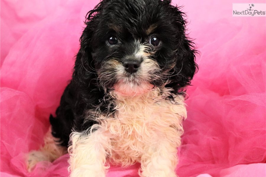 Cavapoo puppy for sale near Hawaii USA